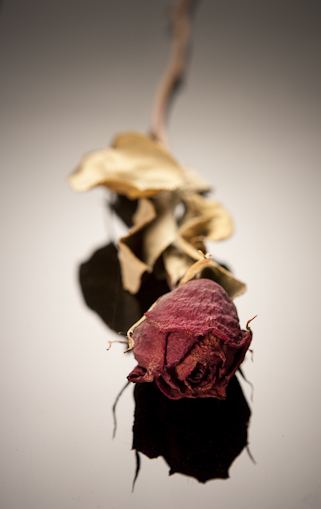 Dried rose shot on black Plexiglas.