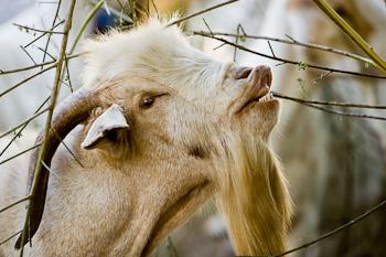 snobbish goat