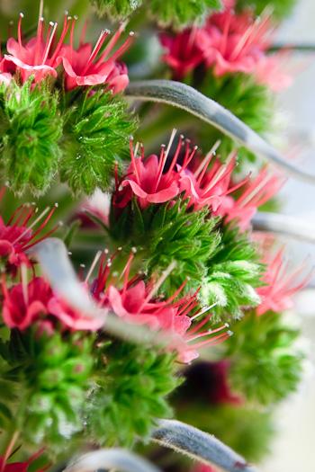 Davis flower