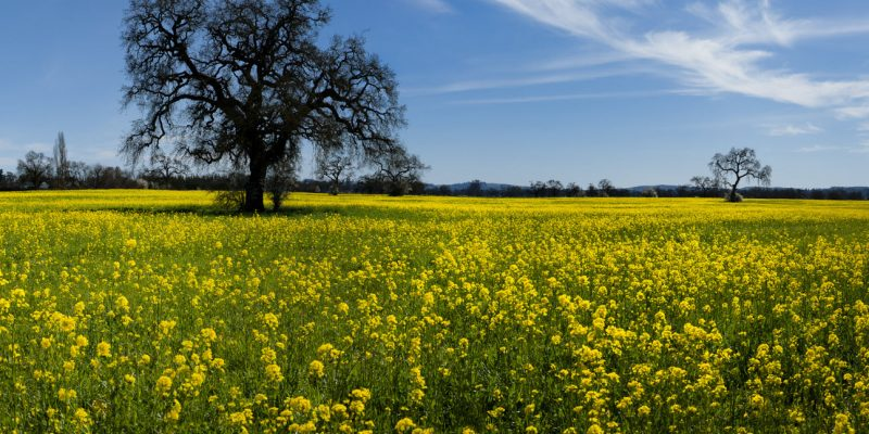 Field of mustard by Ray Mabry