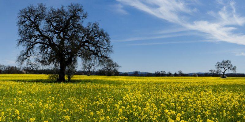 Field of mustard by Ray Mabry